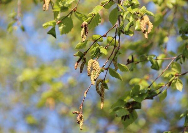 Nyhet Pollenmätningar